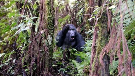 16_01_gorilla