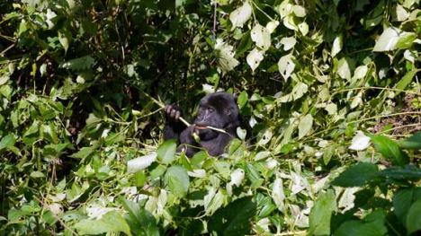 16_01_gorilla2